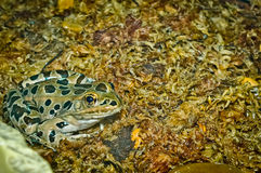 Leopard Frog Close-up Stock Images