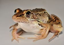 Leopard Frog. Eye's that can spot a fly a mile away Royalty Free Stock Photography
