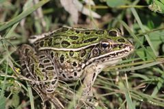 Leopard frog in the grass. stock images