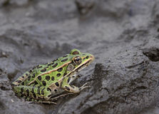Leopard Frog in the Mud Royalty Free Stock Photos
