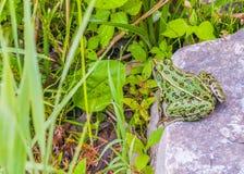 Leopard Frog Stock Images