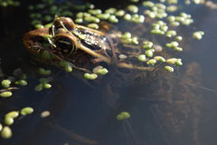 Leopard Frog resting in the water Stock Image