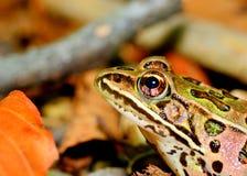 Leopard Frog Stock Image