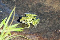 Leopard Frog. In a summer pond in Ontario Royalty Free Stock Photography