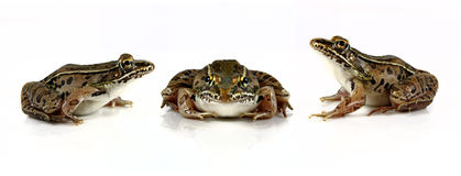 Leopard Frogs Stock Photography