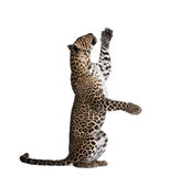 Leopard in front of a white background Royalty Free Stock Photos