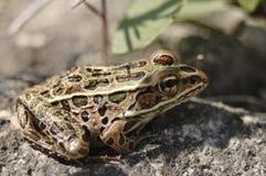 Leopard-Frosch Lizenzfreies Stockbild