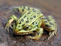 Leopard-Frosch Stockbild