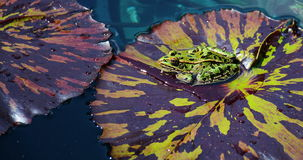 Leopard-Frosch auf Lily Pad Stockfoto