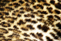 Leopard fur. Orange and black color Royalty Free Stock Images