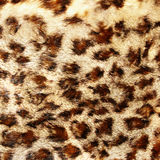 Leopard  fur. Great leopard fur texture closeup Royalty Free Stock Photos
