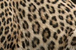 Leopard Fur. Fur of a Persian leopard (Panthera pardus saxicolor Royalty Free Stock Photo