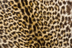 Leopard Fur. A close up photo of a leopards fur royalty free stock photo