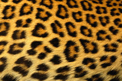 Leopard fur as background Stock Photos