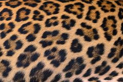 Leopard fur background. Close up leopard fur background Stock Photos