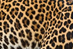 Leopard fur background. Close up leopard fur background Stock Photography