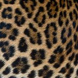 Leopard fur background. Close up leopard fur background Stock Image