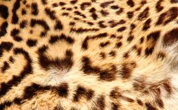 Leopard fur with the classic dark spots Stock Photos