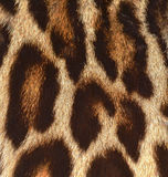 Leopard fur closeup Royalty Free Stock Photography