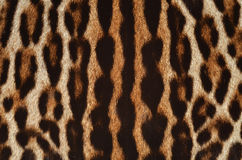 Leopard fur detail. Background of leopard fur texture Royalty Free Stock Photo