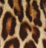 Leopard fur texture background Royalty Free Stock Image