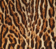 Leopard fur texture background. Texture background of  leopard real fur Royalty Free Stock Photos