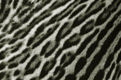 Leopard fur texture. Closeup of leopard fur background Royalty Free Stock Photo
