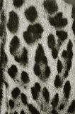 Leopard fur texture. Closeup of leopard fur background Stock Images