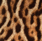 Leopard fur texture closeup. Texture of  leopard real fur Stock Photo
