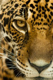Leopard gaze. On victims with a fierce Stock Photo
