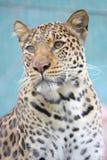 Leopard Gazing Stock Image