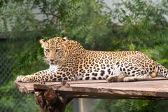 Leopard Gazing at camera. Male Indian Leopards gazing or looking directly into the camera royalty free stock photo