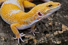 Leopard gecko. The leopard gecko from Pakistan is hugely popular in herpetoculture and available in a stunning array of designer morphs as shown with this APTOR Royalty Free Stock Images