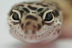 Leopard gecko. The leopard gecko is a beautiful lizard species from the Afghan scrub deserts. By now it is also one of the most popular pet lizard species in the Stock Images