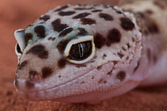 Leopard gecko. The leopard gecko is a beautiful lizard species from the Afghan scrub deserts. By now it is also one of the most popular pet lizard species in the Royalty Free Stock Images
