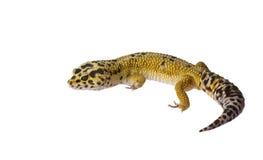 leopard gecko στοκ εικόνες