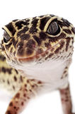 Leopard gecko. Closeup on isolated background stock images