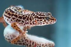 leopard gecko στοκ φωτογραφία με δικαίωμα ελεύθερης χρήσης
