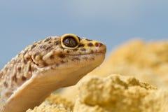 Leopard Gecko Στοκ εικόνα με δικαίωμα ελεύθερης χρήσης