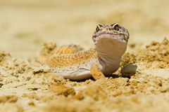 Leopard Gecko Stock Images