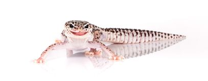 Leopard Gecko. Details of a Leopard Gecko. Species: Eublepharis macularius royalty free stock images