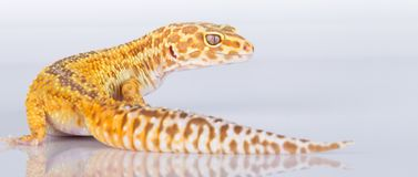 Leopard gecko. Side view of leopard gecko reflected on white background royalty free stock photo