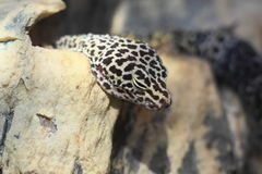 Leopard gecko Royalty Free Stock Image