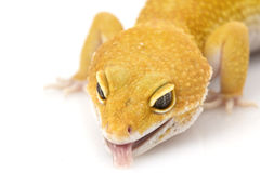 Leopard Gecko. (Eublepharis macularius) on white background stock photos