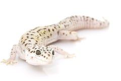 leopard gecko Στοκ φωτογραφίες με δικαίωμα ελεύθερης χρήσης