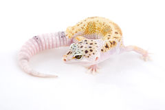 Leopard Gecko Royalty Free Stock Photos
