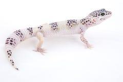 leopard gecko Στοκ Φωτογραφίες