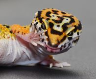 A Leopard gecko with attitude. Talk to the hand. This is a humorousnclose up picture of a Leopard gecko holding up his hand as if to say stop. The reptiles arm royalty free stock image