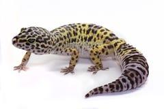 Leopard Gecko auf weißem Hintergrund Stockbild