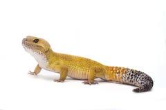 Leopard Gecko auf weißem Hintergrund Lizenzfreies Stockfoto